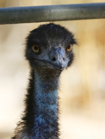 An Australian emu is shown at Gilcrease Nature Sanctuary Saturday, Oct. 24, 2015, in Las Vegas. The sanctuary, located at 8103 Racel St., was established in 1970 and offers a home to many types of ...