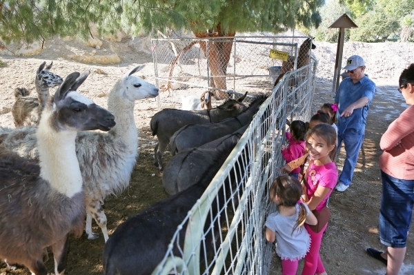 Girl Scouts Troop 109 members look at a pen containing llamas, burros and goats at Gilcrease Nature Sanctuary Saturday, Oct. 24, 2015, in Las Vegas. The sanctuary, located at 8103 Racel St., was e ...