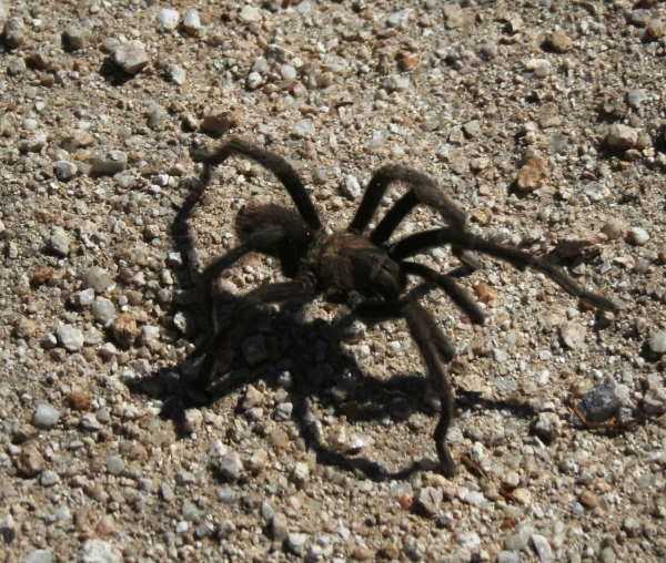 Tarantaulas live mostly in burrows, but some have been found to live in trees and rock crevices. They are the least-aggressive of spiders. (Deborah Wall/Special to View)