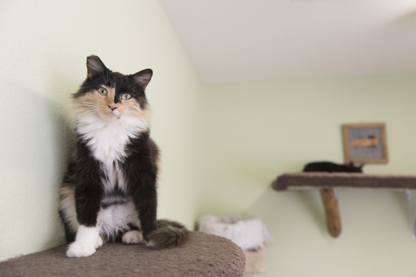 A cat available for adoption sits on a perch at the new Transition Services Inc./All Fur Love facility at 6100 W. Cheyenne Ave. in Las Vegas Wednesday, Nov. 4, 2015. Jason Ogulnik/Las Vegas Review ...