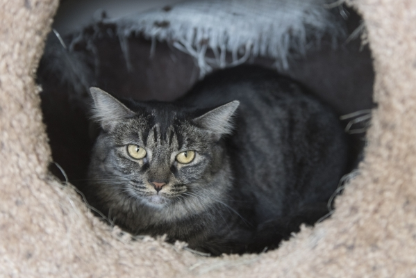 A cat available for adoption peers out from a resting spot at the new Transition Services Inc./All Fur Love facility at 6100 W. Cheyenne Ave. in Las Vegas Wednesday, Nov. 4, 2015. Jason Ogulnik/La ...