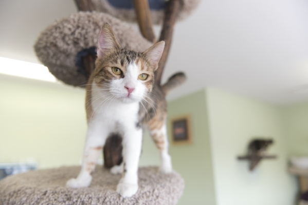 A cat available for adoption stands on a perch at the new Transition Services Inc./All Fur Love facility at 6100 W. Cheyenne Ave. in Las Vegas Wednesday, Nov. 4, 2015. Jason Ogulnik/Las Vegas Revi ...