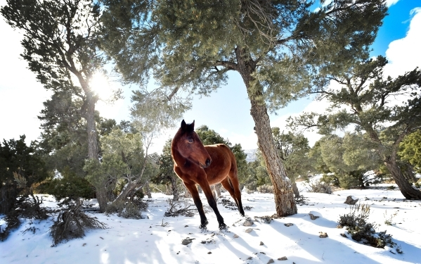 "A wild horse makes its way out from the trees on fresh snow in Cold Creek on Tuesday, Nov. 10, 2015. The Bureau of Land Management has come under fire from members of Congress for an ""ineffec ..."