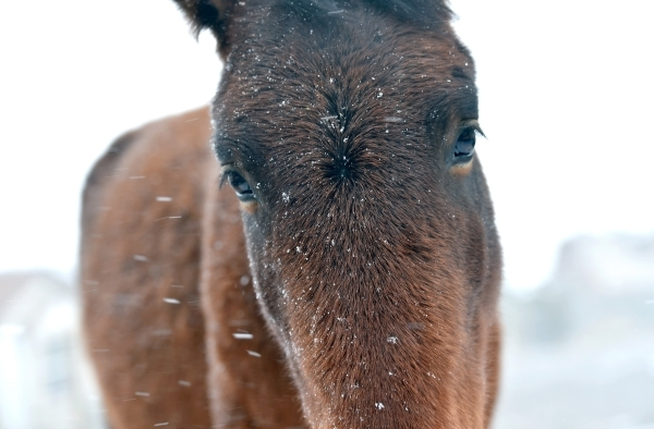"A wild horse stares ahead as it makes its way through falling snow in Cold Creek on Tuesday, Nov. 10, 2015. The Bureau of Land Management has come under fire from members of Congress for an "" ..."