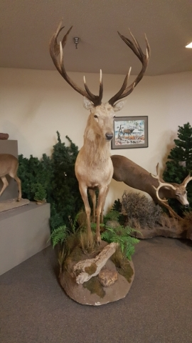 A white stag, part of the newly donated Primm Wildlife Collection, is now on display at downtown's Las Vegas Natural History Museum. COURTESY LAS VEGAS NATURAL HISTORY MUSEUM