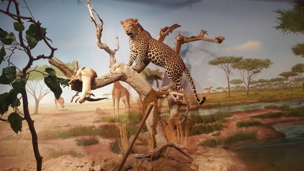 The Las Vegas Natural History Museum's updated Africa exhibit now includes specimens from the newly donated Primm Wildlife Collection. COURTESY LAS VEGAS NATURAL HISTORY MUSEUM