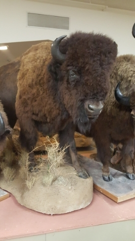 Bison from the newly donated Primm Wildlife Collection join the displays at the Las Vegas Natural History Museum. COURTESY LAS VEGAS NATURAL HISTORY MUSEUM