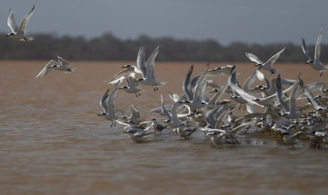 Seagulls fly near the mouth of Rio Doce (Sweet River), which was flooded with mud after a dam owned by Vale SA and BHP Billiton Ltd burst, as the river joins the sea on the coast of Espirito Santo ...