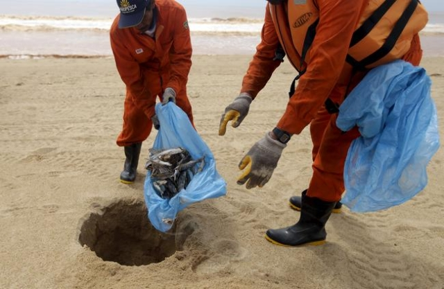 Local fishermen working for a company contracted by Samarco mine operator, work on the clearing of dead fish found on the beach of Povoacao Village, near the mouth of Rio Doce (Doce River), which  ...