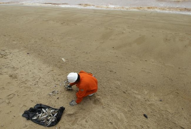 A local fisherman working for a company contracted by Samarco mine operator, clears dead fish found on the beach of Povoacao Village, near the mouth of Rio Doce (Doce River), which was flooded wit ...