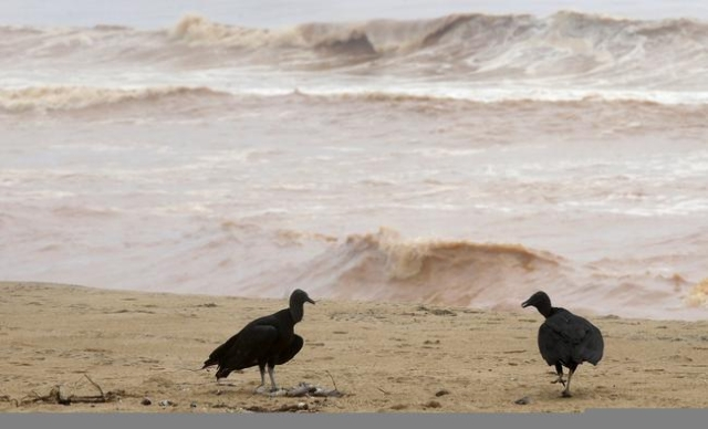 Vultures eat dead fish found on the beach of Povoacao Village, near the mouth of Rio Doce (Doce River), which was flooded with mud after a dam owned by Vale SA and BHP Billiton Ltd burst, at an ar ...