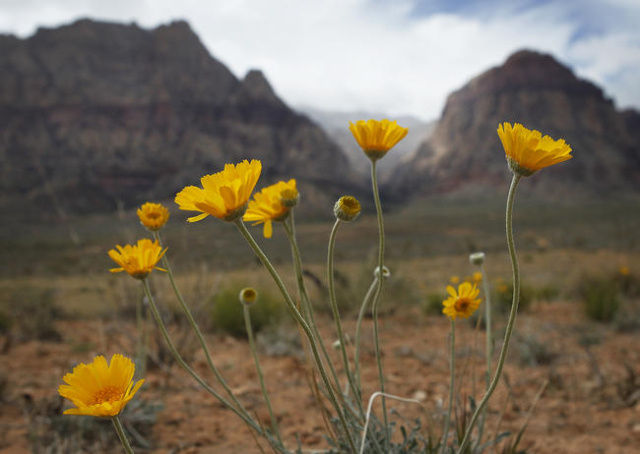 Spring wildflowers bloom despite the cold weather on state Route 159 in Red Rock Canyon National Conservation Area west of Las Vegas on April 2, 2014. (Jason Bean/Las Vegas Review-Journal)