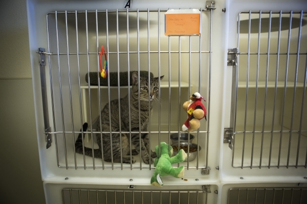 """""""Tommy,"""" an adoptive cat, sits in a cage at the Boulder City Animal Control Shelter, 810 Yucca St., on  Tuesday, Dec. 1, 2015. Former Boulder City Animal Control supervisor Mary Jo Frazi ..."""