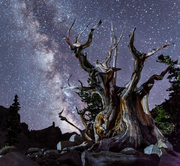 The Milky Way rises over a bristlecone pine tree at Great Basin National Park in this undated photo. Backers of plans to build a research telescope at the park have surpassed their fundraising goa ...