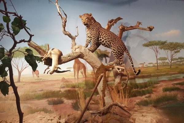Part of the Primm Wildlife Collection, the latest addition to the Las Vegas Natural History Museum, which features free admission Saturday. COURTESY LAS VEGAS NATURAL HISTORY MUSEUM