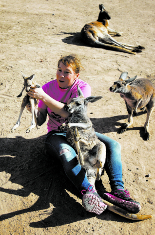 """Valerie Holt examines a joey, or baby kangaroo, at the Roos-N-More Zoo in Moapa Town, Nev. Thursday, Jan. 23, 2014. """"We're looking for superman and his cape to come and save the day,&qu ..."""