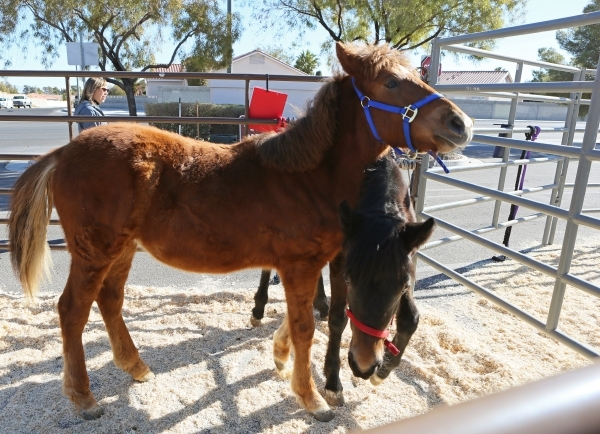 Little Red, a 5-month-old sorrel filly with star, left, and Tiny, a 5-month-old brown filly, nuzzle during an adoption event outside the Bureau of Land ManagementþÄôs Southern Nevada Dist ...