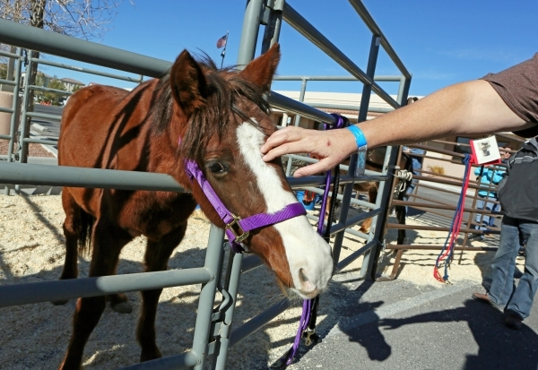 Big Red, an 11-month-old sorrel filly with blaze, receives attention during an adoption event outside the Bureau of Land ManagementþÄôs Southern Nevada District Office on Saturday, Dec. 1 ...