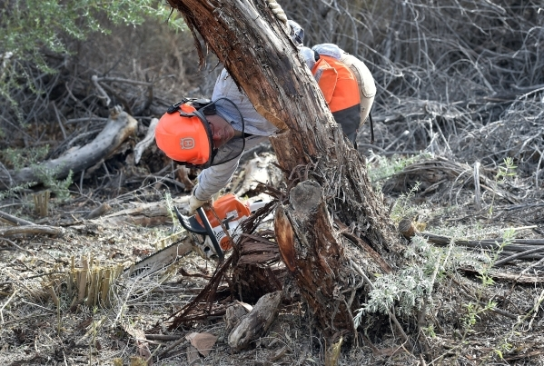 Amargosa Conservancy stewardship program manager Tanya Henderson checks her notch as she cuts down a tree for a new habitat that the conservancy is creating for the now endangered Amargosa vole in ...