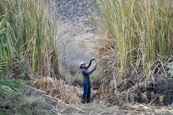 Worker Allison Barnes trims a pathway through a patch of overgrown cattails as she and other workers and volunteers for the Amargosa Conservancy create a habitat for the now endangered Amargosa vo ...