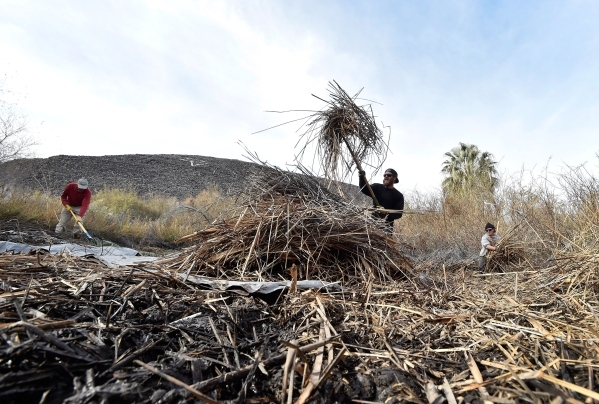 Workers from left, John Hiatt, Christopher Cohen and Brandon Mejia clear foliage near the head waters of the Shoshone Spring, as the Amargosa Conservancy works to create a new habitat for the now  ...