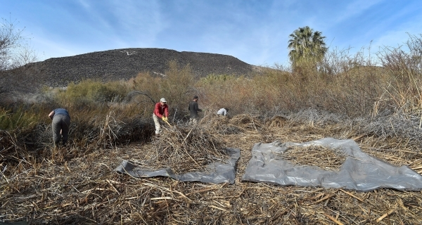 Workers clear foliage as the Amargosa Conservancy works to create a new habitat for the now endangered Amargosa vole in Shoshone, Calif., on Tuesday, Dec. 8, 2015. The conservancy hopes to introdu ...