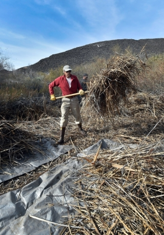 Volunteer John Hiatt clears foliage as the Amargosa Conservancy works to create a new habitat for the now endangered Amargosa vole in Shoshone, Calif., on Tuesday, Dec. 8, 2015. The conservancy ho ...