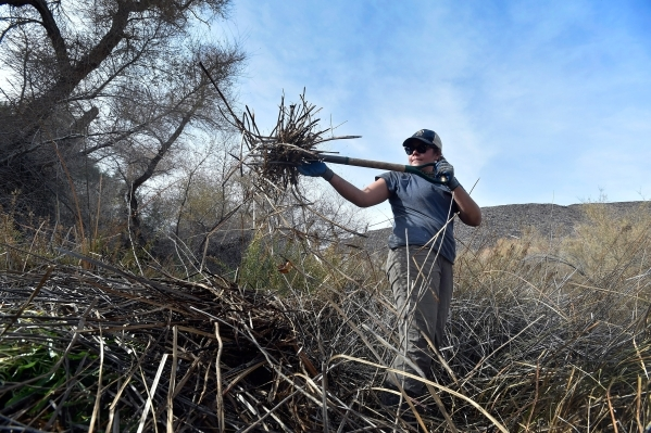 Volunteer Abby Mattson clears foliage as the Amargosa Conservancy works to create a new habitat for the now endangered Amargosa vole in Shoshone, Calif., on Tuesday, Dec. 8, 2015. The conservancy  ...