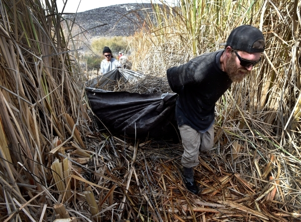 Workers Brandon Mejia, left, and Christopher Cohen haul away foliage as the Amargosa Conservancy works to create a new habitat for the now endangered Amargosa vole in Shoshone, Calif., on Tuesday, ...