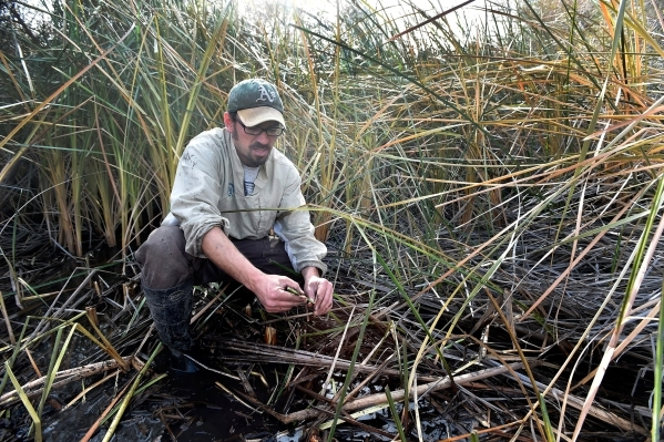 Amargosa Conservancy executive director Patrick Donnelly displays a stem from a three square bulrush, the marsh grass which is needed for the now endangered Amargosa vole, during a habitat restora ...