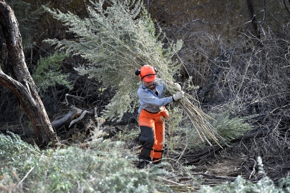 Amargosa Conservancy stewardship program manager Tanya Henderson carries stalks of arrowweed as she helps build a new habitat for the now endangered Amargosa vole in Shoshone, Calif., on Tuesday,  ...