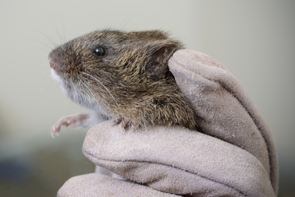 Amargosa voles can be told apart from their California cousins by their distinctive white beard. Don Preisler/UC Davis
