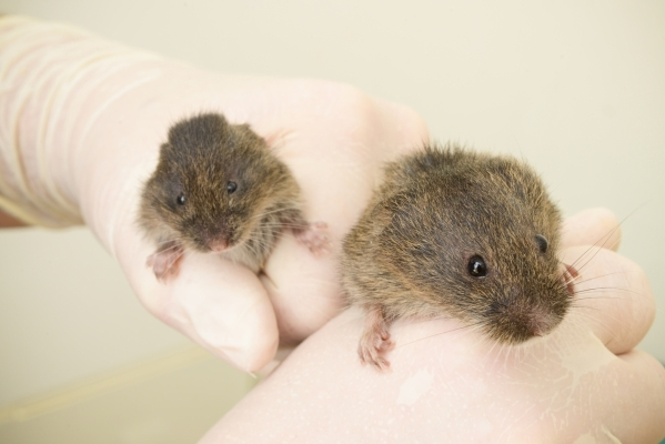 A researcher at the University of California, Davis School of Veterinary Medicine holds an adult endangered Amargosa vole, right, that was taken from the wild for breeding and a young captive-bred ...