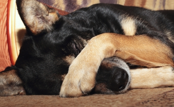 Dog covering nose THINKSTOCK