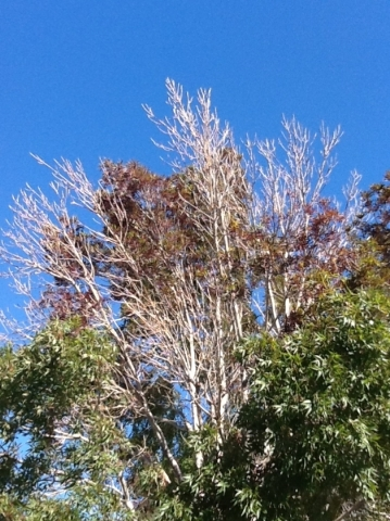 An example of Ash Decline disease can be seen in this tree. Special to View