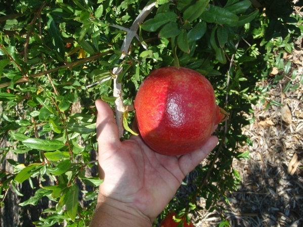 A velvet pomegranate variety does well in Southern Nevada. Special to View