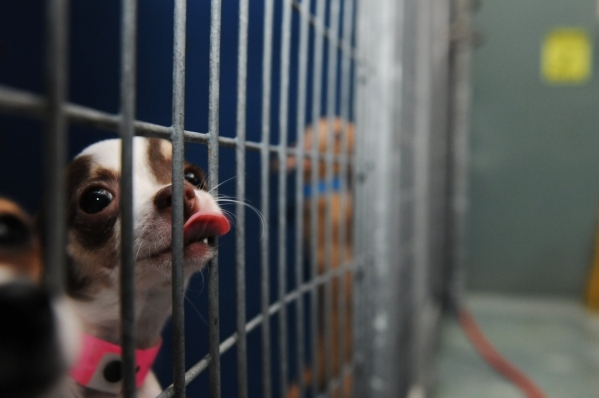 A rescued Chihuahua is seen Feb. 28, 2014, at a shelter in Las Vegas. The Las Vegas City Council will consider an ordinance banning the sale of dogs and cats not obtained from an animal shelter, n ...