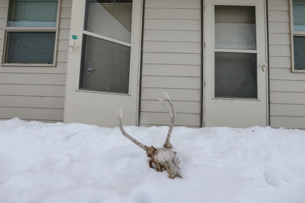 An animal skull sits in the snow at the Malheur National Wildlife Refuge headquarters, which is occupied by anti-government protestors, near Burns, Ore. on Tuesday, Jan. 5, 2016. The protestors, m ...