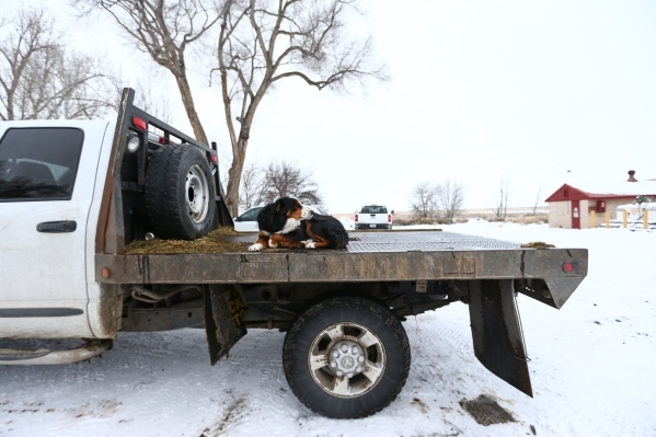 A dog sits on the bed of a truck at the Malheur National Wildlife Refuge headquarters, which is occupied by anti-government protestors, near Burns, Ore. on Tuesday, Jan. 5, 2016. The protestors, m ...