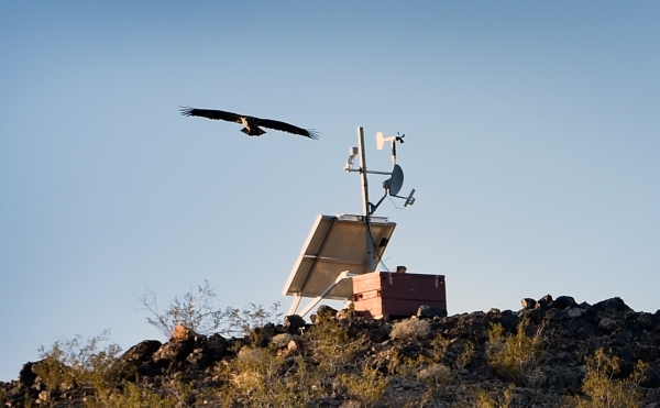 A golden eagle flies over a weather station at Lake Mead on Tuesday, Jan. 12, 2016. Biologists and volunteers from the National Park Service and other agencies fanned out across Lake Mead and Lake ...