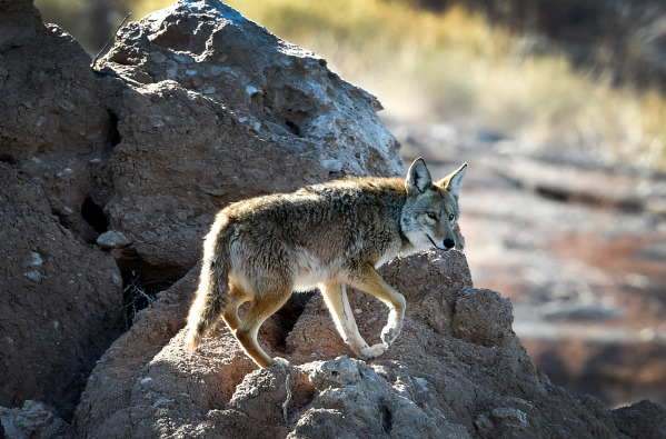 A coyote walks over rocks near Lake Mead on Tuesday, Jan. 12, 2016. Biologists and volunteers from the National Park Service and other agencies fanned out across Lake Mead and Lake Mohave for thei ...