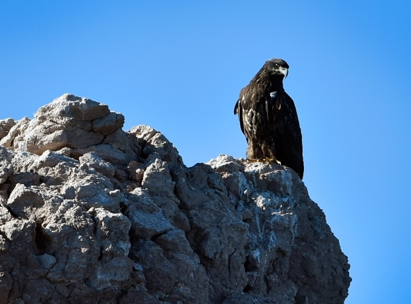 A juvenile bald eagle looks down on Lake Mead as it is perched on a outcropping of rocks on Tuesday, Jan. 12, 2016. Biologists and volunteers from the National Park Service and other agencies fann ...