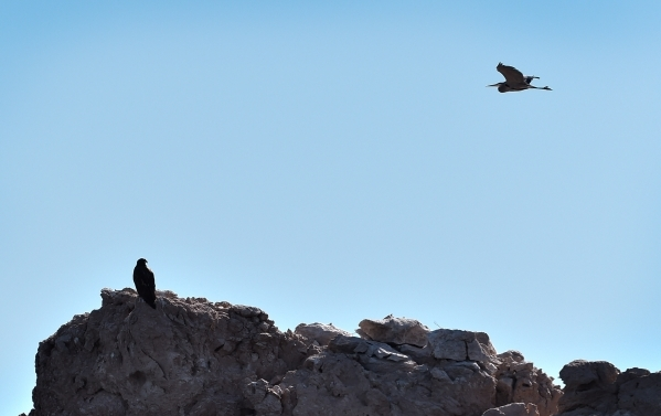 A juvenile bald eagle, lower left, appears to be watching an egret as it flies overhead at Lake Mead on Tuesday, Jan. 12, 2016. Biologists and volunteers from the National Park Service and other a ...