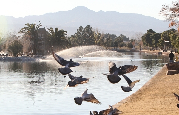 A group of pigeons fly over the Sun Set Park pond during a warm morning, on Thursday, Jan. 14, 2016, in Las Vegas. Sunny skies and normal temperatures are expected to stick around through the week ...