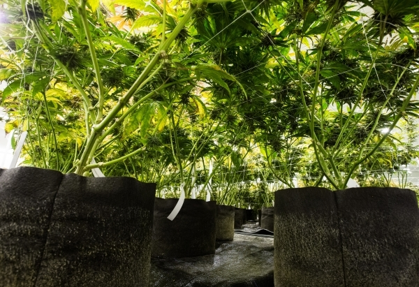 Marijuana plants are shown in the flowering room at the Nevada Organic Remedies marijuana production and grow facility in Las Vegas on Saturday, Jan. 16, 2016. The company also operates two dispen ...