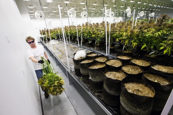Nevada Organic Remedies employee Scott carries a marijuana plant during the first day of harvesting at the company's marijuana production and grow facility in Las Vegas on Saturday, Jan. 16, ...