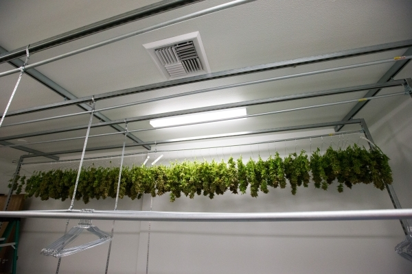 Marijuana plants are shown in the dry room during the first day of harvesting at the Nevada Organic Remedies marijuana production and grow facility in Las Vegas on Saturday, Jan. 16, 2016. The com ...