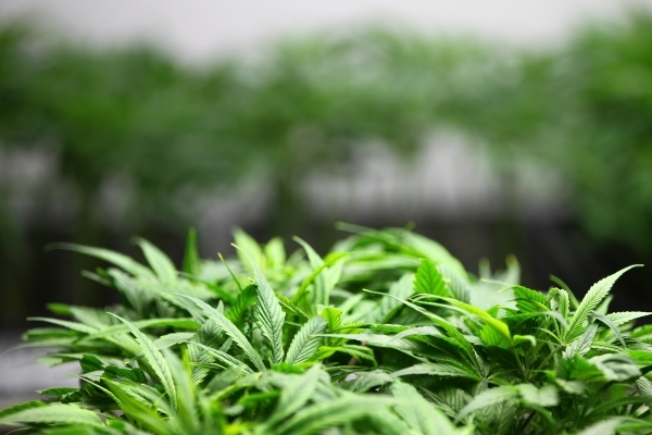Clone marijuana plants are shown at the Nevada Organic Remedies marijuana production and grow facility in Las Vegas on Saturday, Jan. 16, 2016. The company also operates two dispensaries, one in L ...