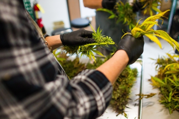 Marijuana plants are defanned during the first day of harvest at the Nevada Organic Remedies marijuana production and grow facility in Las Vegas on Saturday, Jan. 16, 2016. The company also operat ...