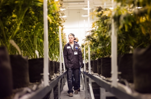 Nevada Organic Remedies employee Gage walks among marijuana plants during the first day of harvesting at the company's marijuana production and grow facility in Las Vegas on Saturday, Jan. 1 ...